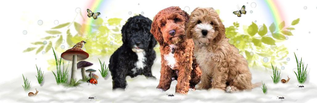 1A Cockapoo4u New Puppy