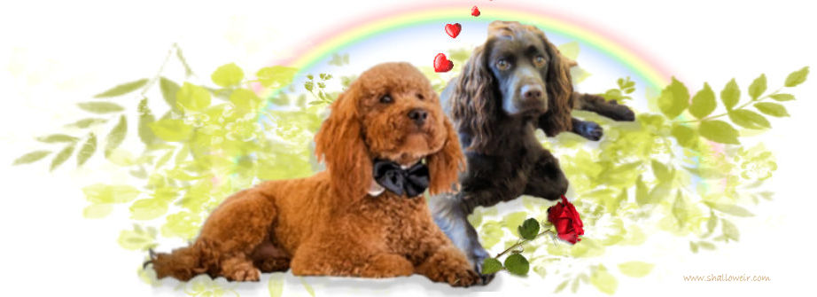 1A Shalloweir Cockapoo 4 u Header Cropped signed